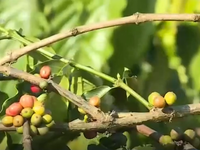 Cà phê Gia Lai được giá, mất mùa