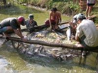 Giá cá tra tăng, nông dân ồ ạt thả nuôi