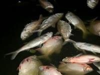 Cá chết hàng loạt tại hồ Linh Đàm, Hà Nội