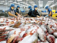 Xuất khẩu cá tra tăng mạnh