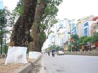 Xây metro, nhiều cây cổ thụ tại TP.HCM sắp bị chặt hạ