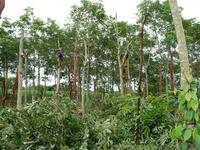 Phú Yên khuyến cáo người dân không nên chặt bỏ cây cao su