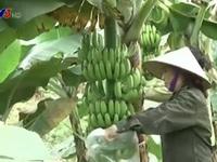 Vĩnh Phúc: Chuối rớt giá, người nông dân lao đao