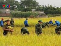Xúc động hình ảnh bộ đội gặt lúa giúp dân tránh bão số 7