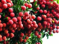 Vải thiều Bắc Giang đã được xuất khẩu đi 30 nước