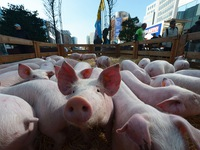 Giá nông sản lao dốc, nông dân châu Âu đem lợn đi... biểu tình