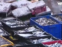 Giám sát hải sản miền Trung tại bến cá