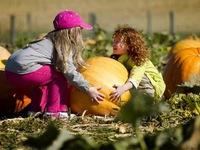 Mỹ: Kinh doanh bí ngô nở rộ mùa Halloween
