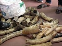 Hà Nội: Thu giữ 6 bao tải chứa hàng chục ngà voi