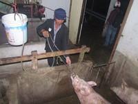 Bắt quả tang cơ sở giết mổ bơm nước vào lợn ở Bến Tre