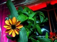 Lần đầu tiên trong lịch sử hoa nở trên Trạm Vũ trụ quốc tế ISS