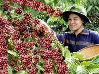 Đẩy mạnh tái canh cà phê vùng Tây Nguyên