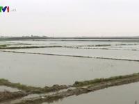 TT-Huế: Hàng nghìn ha lúa bị ngập úng