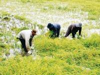 Miễn giảm thuế đất nông nghiệp giúp nông dân yên tâm sản xuất