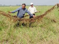 Nông dân An Giang thất thu lúa mùa nổi vì lũ nhỏ