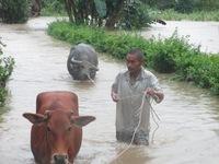 Người dân Hà Tĩnh bảo vệ đàn trâu bò trong mưa lũ