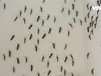 Brazil phát hiện virus Zika trong một loại muỗi nhà phổ biến