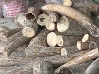 TP.HCM: 3,5 tấn ngà voi bị bắt trong vòng 1 tháng