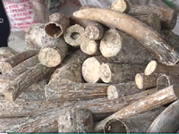TP.HCM: Bắt 1 tấn ngà voi giấu trong thân gỗ nhập lậu