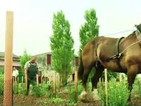 Ngựa kéo cày trong vườn nho tại Pháp