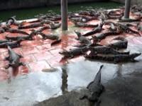 Thiếu quy hoạch, 'thủ phủ' cá sấu Bạc Liêu lao đao vì rớt giá