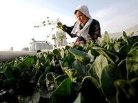 Ngành nông nghiệp Nhật Bản khó khăn vì dân số già