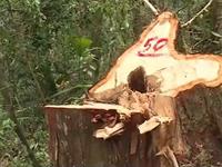Bắt 4 đối tượng trong đường dây phá rừng pơ mu tại Quảng Nam