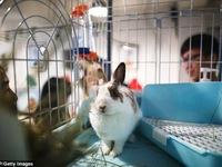 Khám phá quán cafe thỏ đầu tiên ở Hong Kong (Trung Quốc)