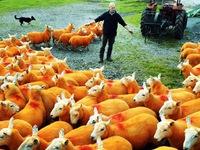 Nhuộm lông màu cam cho 800 chú cừu để... chống trộm