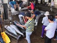 Khánh Hòa: Cá ngừ đại dương liên tục rớt giá