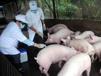 Dịch heo tai xanh bùng phát ở Hậu Giang do người dân chủ quan