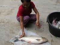 Nghệ An: Cá lồng chết hàng loạt do khí độc