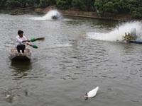 Giá cá tra giống ở ĐBSCL 'hạ nhiệt'