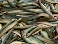 Cá chạch - Sản vật đặc trưng mùa nước nổi ở Đồng Tháp
