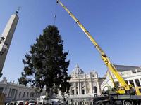 Cây thông mừng Giáng sinh ở Vatican cao 21m