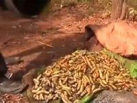Côn trùng trở thành món ăn ưa thích ở Zimbabwe
