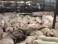 Vụ gần 5.000 con lợn bị tiêm thuốc an thần: Xử lý các chủ lò mổ theo luật định