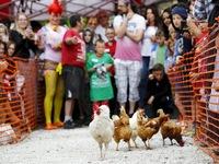Không chỉ có đua ngựa, gà cũng có giải đua riêng
