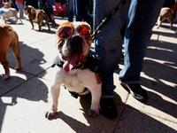 1.000 chú chó Bull lập kỷ lục thế giới tại Mexico