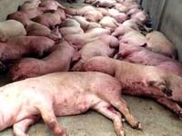 TP.HCM quyết định tiêu hủy số lợn tiêm thuốc an thần