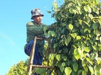 Nông dân lao đao vì hồ tiêu giảm giá mạnh