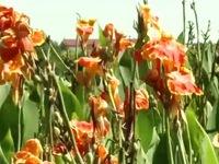 Luống hoa góp phần xử lý nước thải hữu cơ