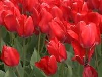 Rực rỡ lễ hội hoa tulip tại bang Washington (Mỹ)