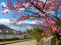 Hoa mai anh đào - Biểu tượng của thành phố Đà Lạt mộng mơ