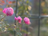 Thú chơi hoa hồng cổ Việt Nam