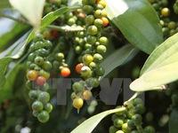 Đăk Lăk: Hồ tiêu giảm giá kỷ lục khiến người trồng điêu đứng