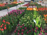 Mê mẩn sắc hoa tulip tại Hà Lan