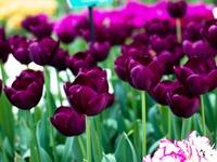 Rực rỡ cánh đồng hoa tulip tại Lisse, Hà Lan