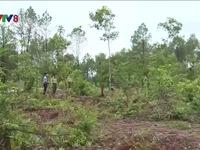 Khởi tố đối tượng tàn phá 3000 m2 rừng thông đặc dụng tại Huế