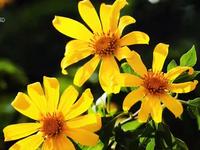 Gia Lai sẽ tổ chức lễ hội hoa dã quỳ Chư Đăng Ya